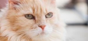 cat_felv