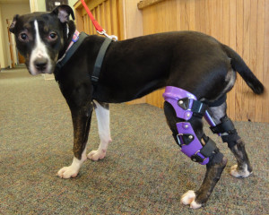 dog-with-ACL-brace-
